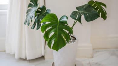 Photo of Tutto sul filodendro, una pianta tropicale che è l'ideale per gli interni