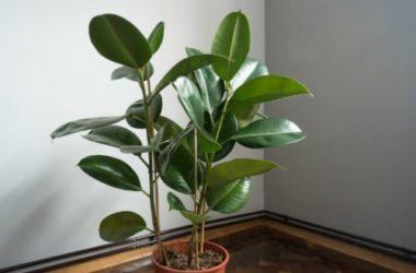 Ficus Elastica o pianta della gomma: cura e coltivazione