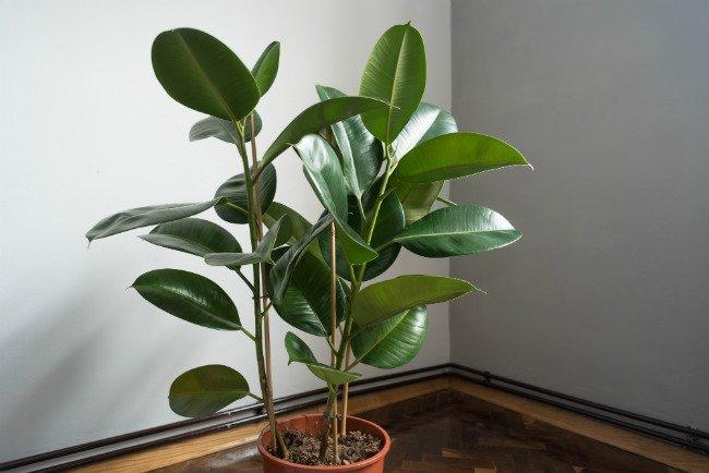 Piante Da Appartamento Ficus.Ficus Elastica O Pianta Della Gomma Cura E Coltivazione