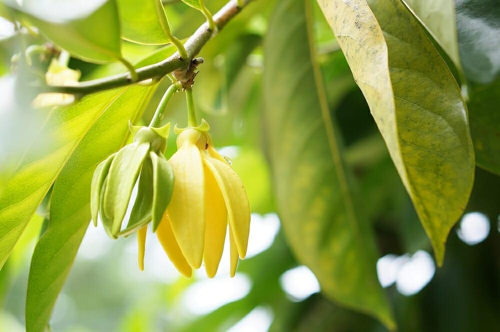 Photo of La guida all'olio di ylang ylang: proprietà, utilizzi e ricette, non solo per la bellezza