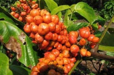 Il guaranà: un energy drink naturale tutto da conoscere