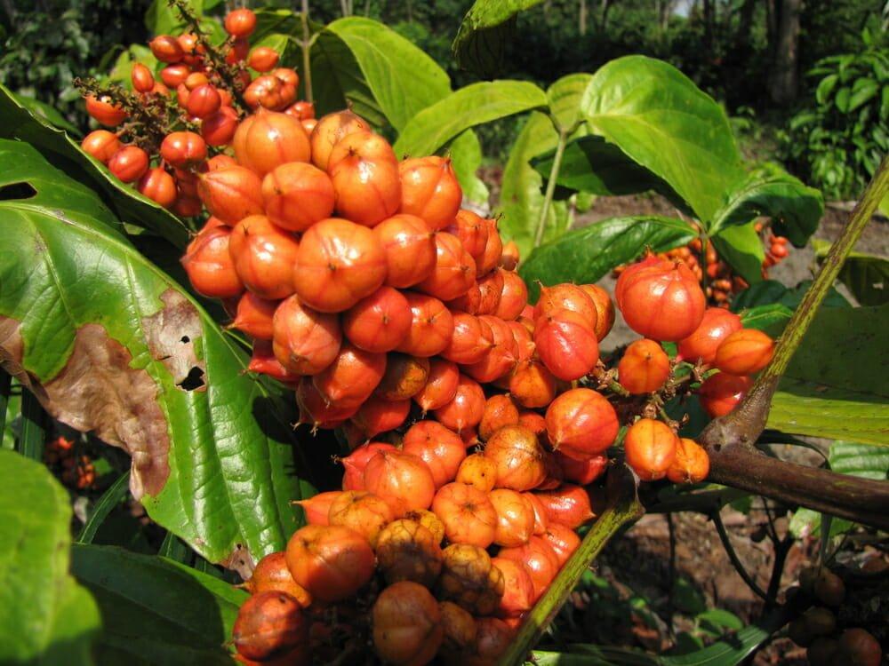 Photo of Il guaranà: un energy drink naturale tutto da conoscere