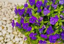 Photo of Viola: tutto su questa pianta così amata per i suoi fiori