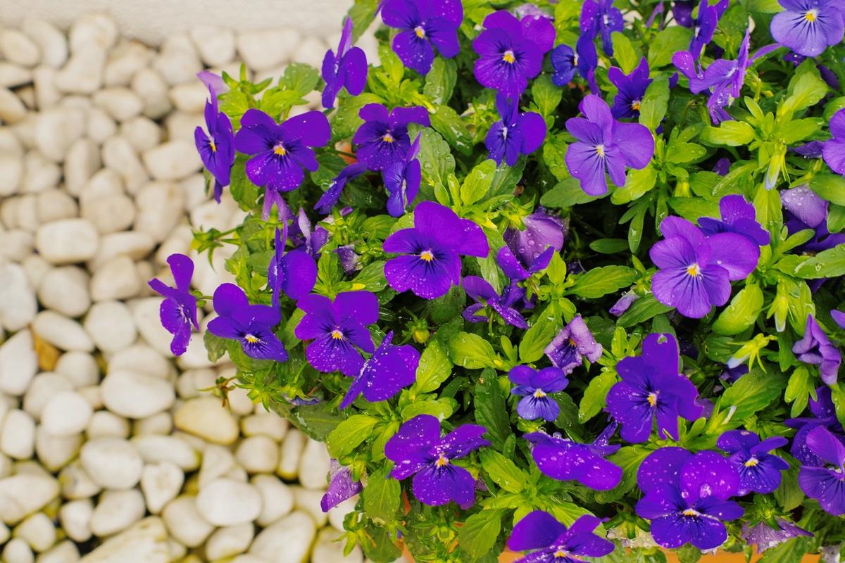 Come Creare Il Viola viola: come coltivare questa pianta annuale rinomata per i