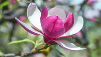 Photo of Magnolia: tutto su questo albero con bellissimi fiori colorati