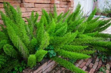 Asparagus: tutti i segreti di questa pianta cespugliosa