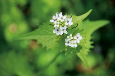 Quali sono le erbe selvatiche commestibili, come riconoscerle ed utilizzarle