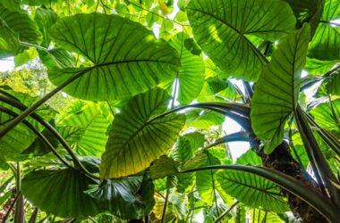 Alocasia: come coltivare e curare questa pianta tropicale