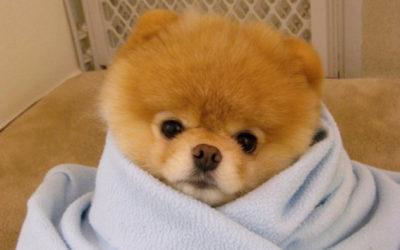 Boo: il cane diventato fenomeno della rete è davvero così carino?
