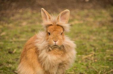 Coniglio testa di leone: carattere, educazione, aspetto