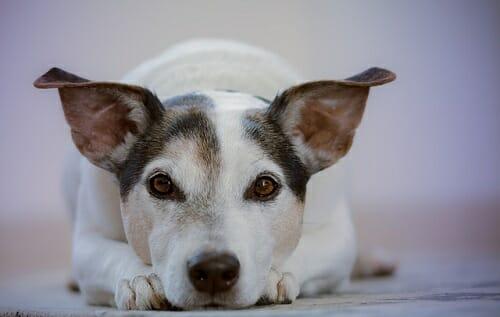 Photo of Leptospirosi nel cane e nell'uomo: cause, sintomi e cure