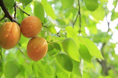 Potatura albicocco: tecniche, periodo e tipologie per avere una pianta sana e frutti abbondanti