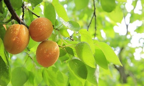 Photo of Potatura albicocco: tecniche, periodo e tipologie per avere una pianta sana e frutti abbondanti