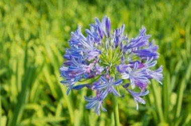 Tutto sull'agapanto, una pianta apprezzata per le sue magnifiche fioriture blu