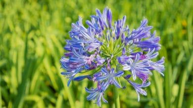 Photo of Tutto sull'agapanto, una pianta apprezzata per le sue magnifiche fioriture blu