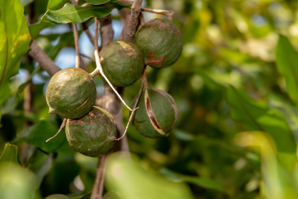 Photo of Quello che c'è da sapere sulle noci di Macadamia, un alimento dalle proprietà interessanti che non tutti conoscono