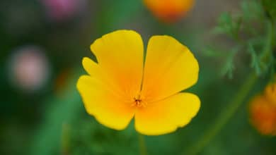 Photo of Escolzia o papavero della California, una pianta che aiuta il rilassamento