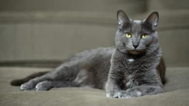 Photo of Quello che c'è da sapere sul gatto Korat, un gatto dall'indole particolarmente indipendente