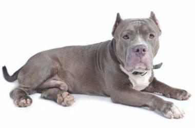 Il Bull Terrier, ecco la guida ad un cane nato per combattere, che in realtà è calmo e disciplinato
