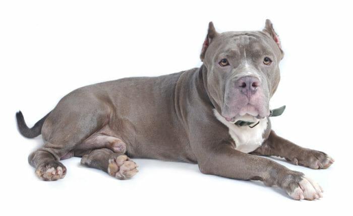 Bull Terrier Carattere Addestramento E Prezzi Tuttogreen