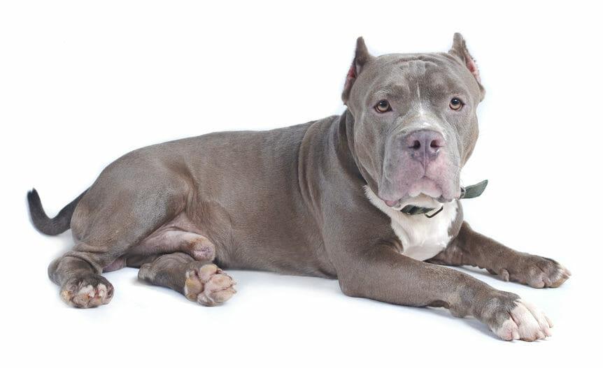 Photo of Il Bull Terrier, ecco la guida ad un cane nato per combattere, che in realtà è calmo e disciplinato
