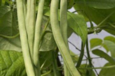 La guida pratica per coltivare fagiolini in vaso e a terra: facile e… salutare!