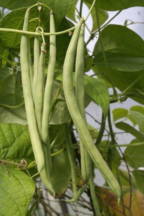 Come coltivare fagiolini in casa