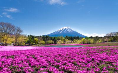 In Giappone impazza lo Shiba-Sakura Festival, ovvero il Festival del Muschio Rosa