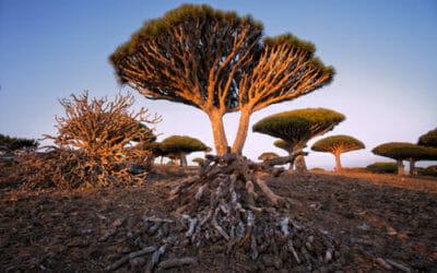 Anche gli alberi di Socotra a rischio per il global warming