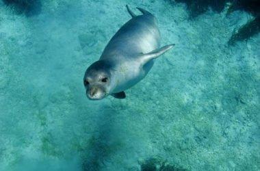 La Foca Monaca: radiografia di una specie a rischio di estinzione