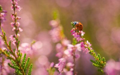 Video del giorno: coccinelle, afidi e formiche, una strana relazione