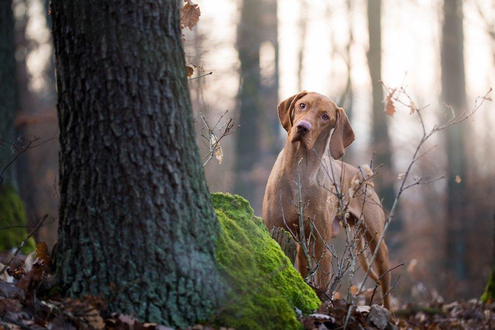 Photo of Tutto sul bracco ungherese, un cane dolcissimo da conoscere meglio