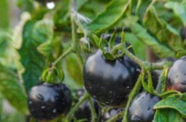 I segreti del pomodoro nero, un alimento particolarmente salutare e tutto da scoprire