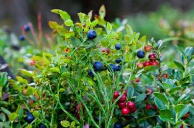 Quali sono i frutti di bosco più popolari e perché tutti dovrebbero scoprire le loro straordinarie proprietò
