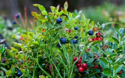 Frutti di bosco: proprietà e ricette