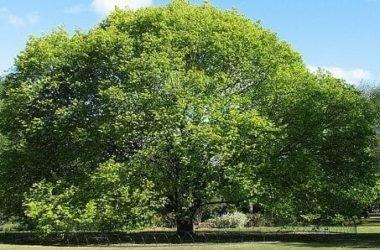 Olmo: storia, proprietà e controindicazioni di questo albero