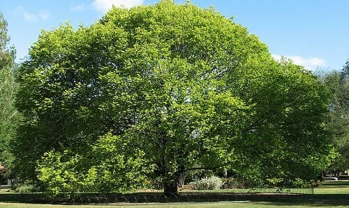Photo of Olmo: storia, proprietà e controindicazioni di questo albero