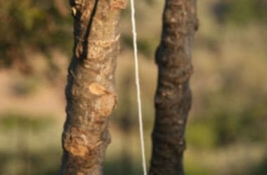 Manna: proprietà e utilizzi della linfa del frassino, conosciuta fin dalla Bibbia