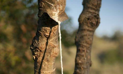 Photo of Manna: proprietà e utilizzi della linfa del frassino, conosciuta fin dalla Bibbia