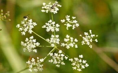 Pimpinella: l'erba rivitalizzante che rompe le pietre