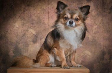 Cani che non perdono pelo: cani ipoallergenici consigliati