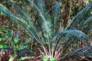"""Cycas: caratteristiche e consigli per la coltivazione della """"palma nana"""""""