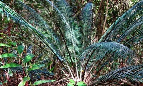 """Photo of Cycas: caratteristiche e consigli per la coltivazione della """"palma nana"""""""