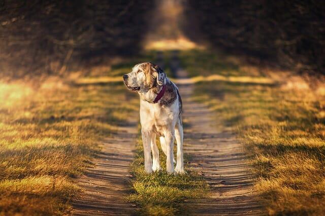 razze di cani che non abbaiano