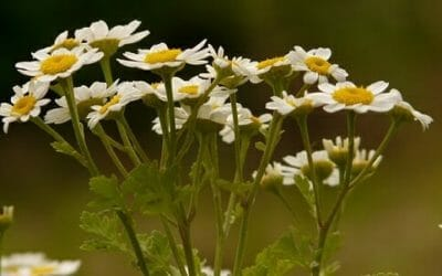 Partenio: proprietà e utilizzi della pianta che fa passare il mal di testa