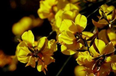 Ginestra: proprietà e utilizzi di questo fiore