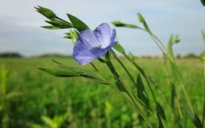 Lino: proprietà e utilizzi di questa pianta