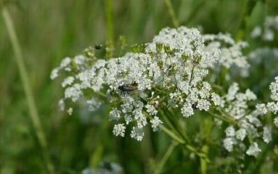 Cerfoglio: proprietà, usi, e ricette di questa erba selvatica