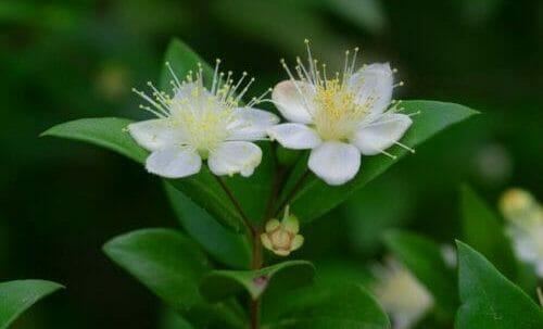 mirto fiori