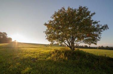 Frassino: caratteristiche e proprietà terapeutiche della pianta